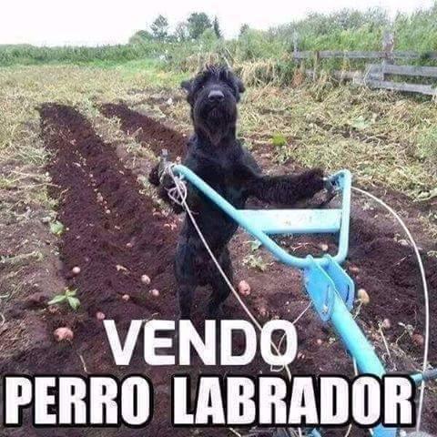 Perro_Labrador